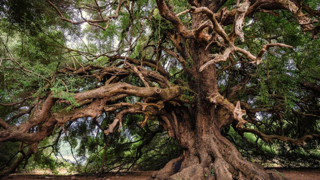 großer uralter Olivenbaum