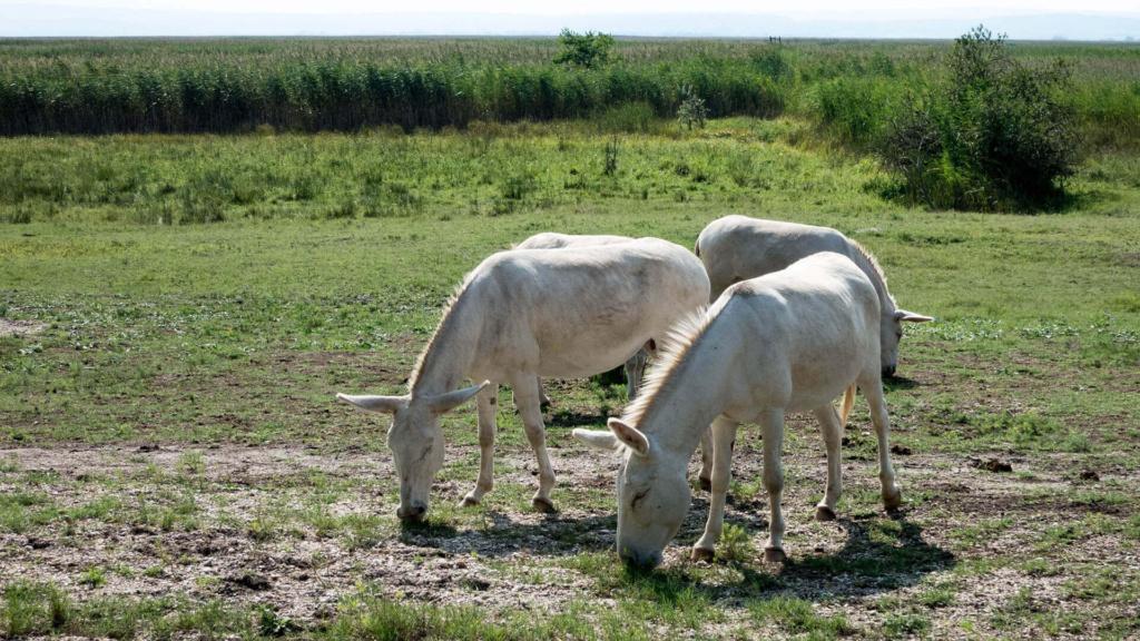 Weiße Esel beim grasen