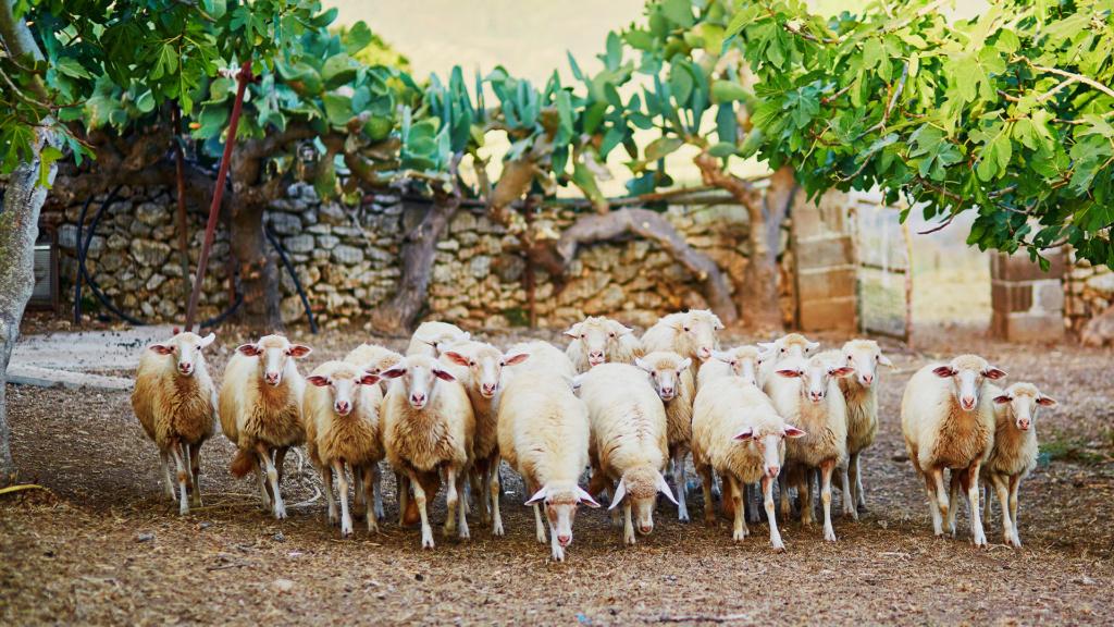 Schafherde auf Sardinien