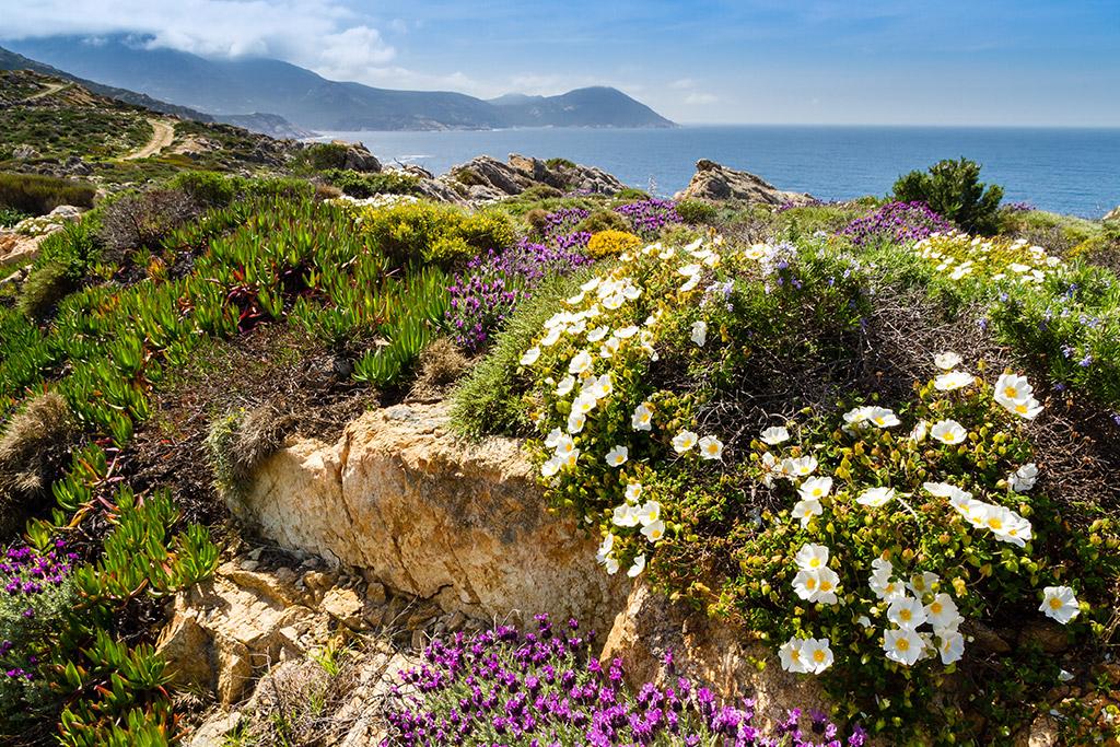 Die Maccia Pflanze in der wunderschönen Landschaft Sardiniens
